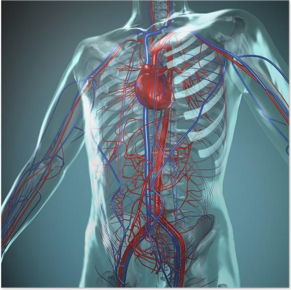 Poster Anatomie Modell, Herz-Kreislauf-System des Menschen • Pixers ...