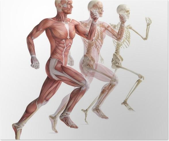 Poster Anatomie, Muskulatur • Pixers® - Wir leben, um zu verändern