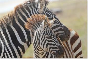 Poster Baby zebra con la madre