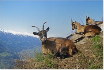 Poster Bergziege / Südtirol 1