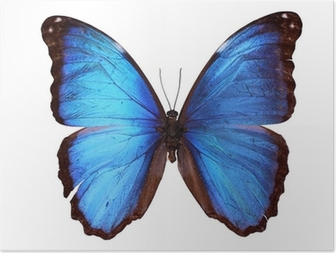 Poster Blue Morpho Schmetterling (Morpho godarti)