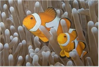 Poster Clownfische, während man Sie von Anemone