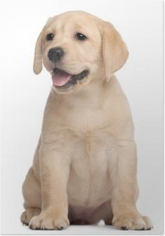 Poster Cucciolo di Labrador, 7 settimane di vita, di fronte a sfondo bianco