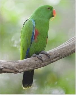 Poster Eclectus pappagallo maschio uccello verde, indonesia