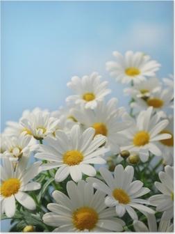 Poster Field of daisy