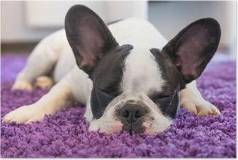 Poster Französisch Bulldogge schlafen auf dem Teppich