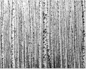 Poster Frühling Birkenstämme schwarz und weiß