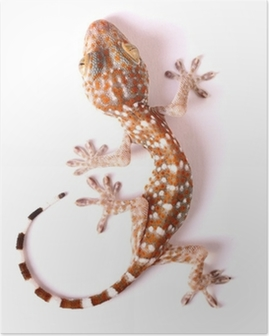 Poster Gecko Klettern isoliert