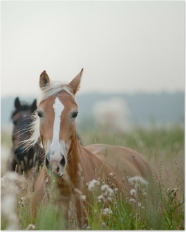 Poster Horses in Field