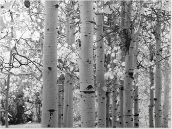 Poster In bianco e nero delle immagini di alberi di pioppo