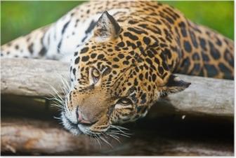 Poster Jaguar - Panthera onca