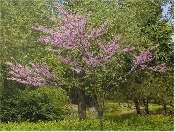 poster japanischer kirschbaum in voller bl te pixers wir leben um zu ver ndern. Black Bedroom Furniture Sets. Home Design Ideas