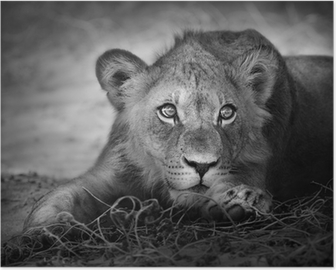 Poster Junger Löwe Porträt