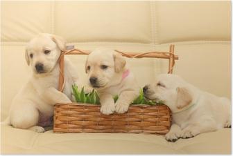 Poster Labrador puppies