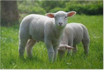 Poster Lamm (Schaf) auf Weide
