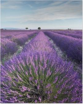 Poster Lavendelfeld in der Provence in den frühen Stunden des Morgens