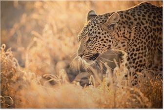 Poster Leopard Camminare al tramonto