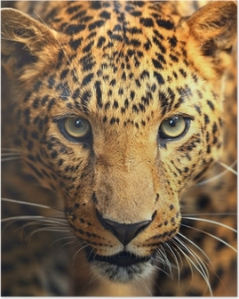 Poster Leopard ritratto