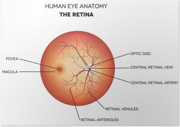 Poster Menschliche Auge Anatomie, Netzhaut • Pixers® - Wir leben, um ...