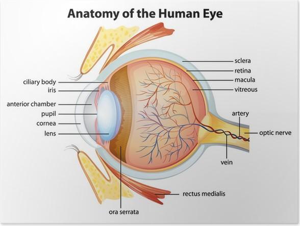 Poster Menschliche Auge Anatomie • Pixers® - Wir leben, um zu verändern