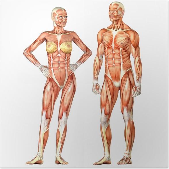 Poster Menschlicher Körper-Anatomie - männlich und weiblich • Pixers ...