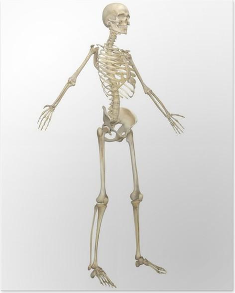 Poster Menschliches Skelett Anatomie abgewinkelte Vorderansicht ...