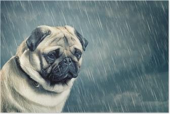 Poster Mops im Regen
