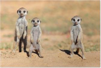 Poster Nette Erdmännchen Babys, Kalahari-Wüste