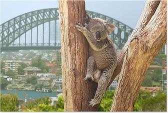 Poster Netter Koala in Sydney, Australien