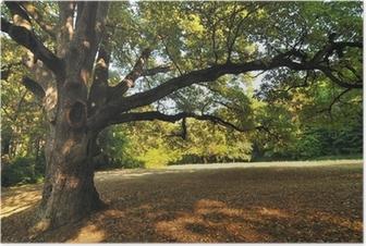 Poster Oak Tree in Park