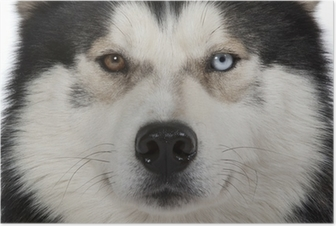 Poster Occhi da parete di siberian husky