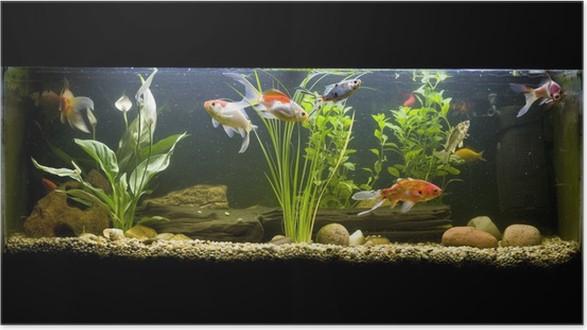 Poster pesci rossi acquario pixers viviamo per il for Pesci rossi acquario