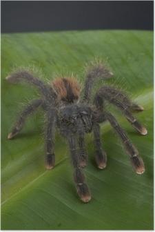 Poster Pinktoe tarantula / Avicularia avicularia