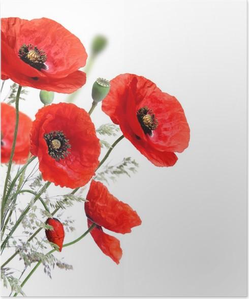 Poster Poppy Blumen auf einem weißen Hintergrund • Pixers® - Wir ...