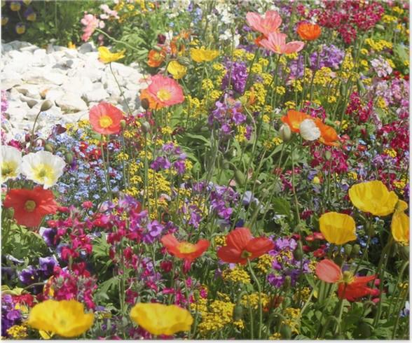 Poster Prato di fiori con papaveri colorati - Wild Garden • Pixers ...
