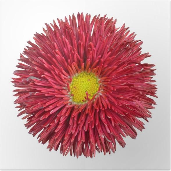 Poster Red Daisy Blüte mit gelbem Zentrum isoliert • Pixers® - Wir ...
