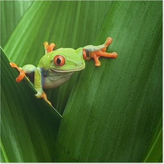 Poster Red-eyed Laubfrosch