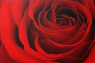 Poster Red rose
