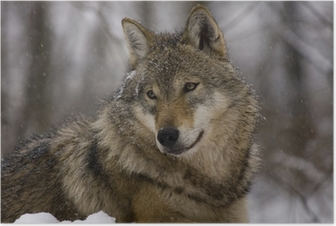 Poster Ritratto di un lupo grigio europeo (Canis lupus lupus)