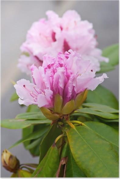 Poster Rododendro Arbusto Sempreverde Con Fiori Rosa.