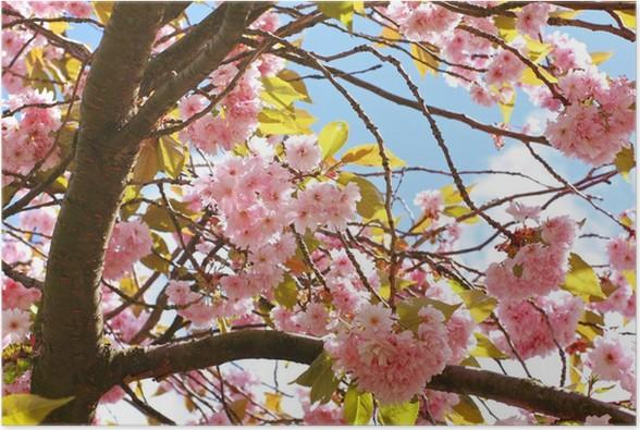 Ciliegio Fiori Bianchi O Rosa.Poster Rosa Giapponesi Fiore Di Ciliegio Pixers Viviamo Per