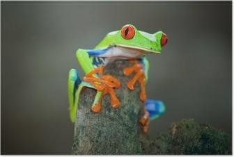 Poster Rotaugenfrosch, Frog, Costa Rica