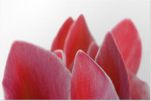 Poster Rote Alpenveilchen Blume auf einem weißen Hintergrund ...