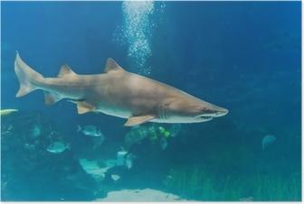 Poster Sandtigerhai (Carcharias taurus) Unterwasser-Nahaufnahme portra