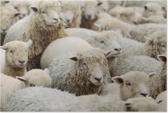 Poster Schaf