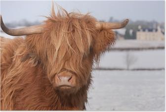 Poster Schottisches Hochlandrind Kuh