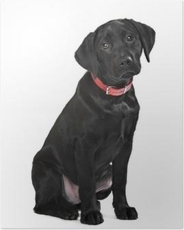 Poster Schwarzer Labrador-Welpen