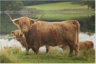 Poster Scottish Highland Kuh im Feld