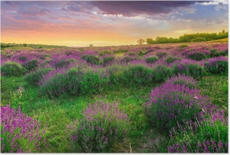 Poster Sonnenuntergang über ein Sommer Lavendel-Feld in Tihany, Ungarn