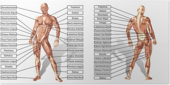 Poster Vector 3D Mann Muskelanatomie mit Text isoliert • Pixers ...